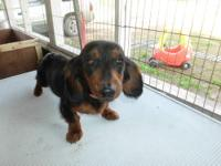 Diva is a tiny, adorable black and tan longhair