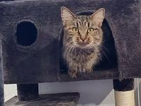My story    Diva is a beautiful DMH brown tabby with