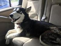 Dixie's story Dixie is a 2-3 year old female Husky