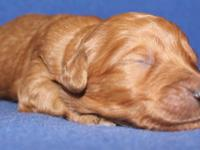 DIZZY is an apricot male F1b medium Goldendoodle. He