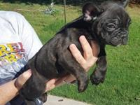 dkjhdhd Good natured Frenchies available for sale, We
