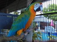 Dna female catalina macaw with all papers. Rare mix