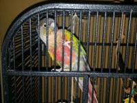 Green cheek conure male with his cage and toys and dna