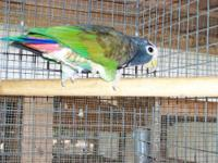 I have a DNA'd White Capped Pionus for sale or possible