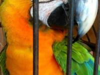 DNA female catalina macaw with all papers...She's Tamed