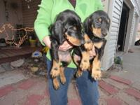 7 DOBERMAN PUPPIES FOR SALE ALL RED WELPED ON NOV. 29,