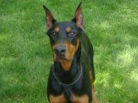 Amazing Majestic Doberman! This is a friendly, even