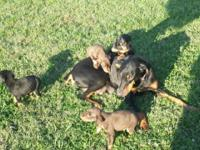 I have male Dobie puppies for sale. DOB 9/22/14. Not