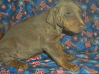 Now for sale CKC registered Doberman Pinscher young