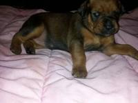 11 very cute Doberman/Bullmastiff puppies available for