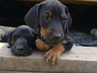 Doberman coonhound cross puppies!! I have two females