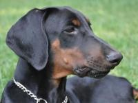 This girl is a lovely, big gorgeous Doberman Pinscher