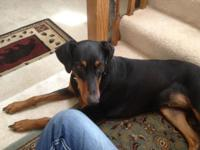 Purebred 3 years of age lady spayed Doberman. Tail