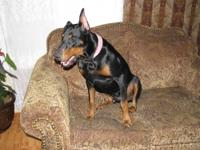Very cute Doberman/German Shepherd mix Puppies. Sire: