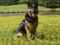ckc reg. 9wks old male doberman pup. he is a big boy!