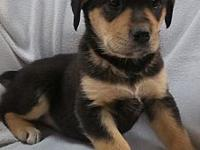 Doberman mix pups's story For Adoption: This litter of