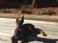 I have a 6 mo old spayed female Doberman, will be