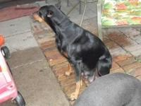 Doberman Pincher puppies for sale. Color is black/tan,