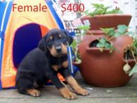 Now accepting deposits on CKC signed up Doberman