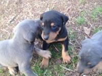 Doberman puppies will be ready for their new homes 2/5