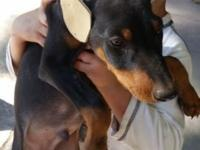 2 10 weeks old doberman pups tails docked dew claws