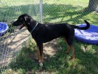 Doberman Pinscher - 658 Bowser - Extra Large - Adult -