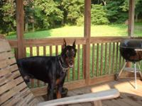 Doberman Pinscher - Angus - Large - Adult - Male - Dog