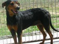 Doberman Pinscher - Baron - Large - Adult - Male - Dog