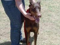 Doberman Pinscher - Cane - Large - Young - Male - Dog