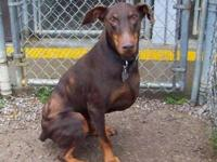 Doberman Pinscher - Chip - Large - Senior - Male - Dog