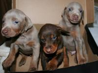 BIG BEAUTIFUL BLUE MALE (1) READY NOW 10 WEEKS OLD