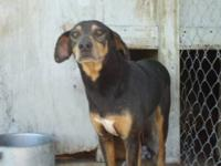Doberman Pinscher - Duke - Large - Adult - Male - Dog (