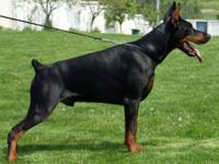 Doberman Pinscher - Ed - Large - Young - Male - Dog