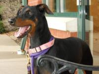 Doberman Pinscher - Fudge - Large - Adult - Female -