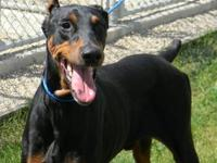 Doberman Pinscher - Guinness - Large - Adult - Male -
