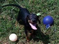 Doberman Pinscher - Gulliver - Large - Baby - Male -