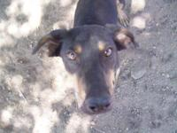 Doberman Pinscher - Harley - Large - Young - Male -