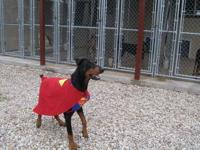 Doberman Pinscher - Jackson - Large - Young - Male -