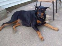 Doberman Pinscher - Jenny - Large - Adult - Female -