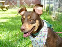 Doberman Pinscher - Jossie - Large - Young - Female -