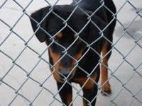 Doberman Pinscher - Lakin - Large - Adult - Female -
