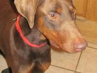 Doberman Pinscher - Lincoln - Large - Young - Male -