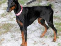"Doberman Pinscher - ""lulu"" - Extra Large - Senior -"