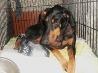 Doberman Pinscher - Magic - Large - Adult - Male - Dog