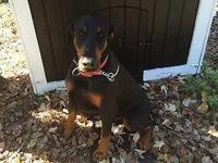 3 year old male Doberman looking for his forever home.