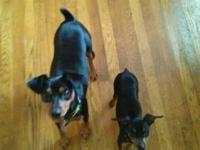 Doberman Pinscher - Maryann - Large - Baby - Female -