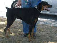 Doberman Pinscher - Maximus - Large - Young - Male -