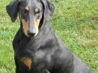 Doberman Pinscher - Mia - Large - Adult - Female - Dog