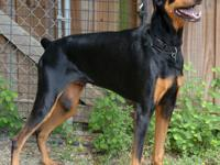 Doberman Pinscher - Peacock - Large - Adult - Female -