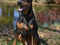 Doberman Pinscher - Prince - Large - Adult - Male -